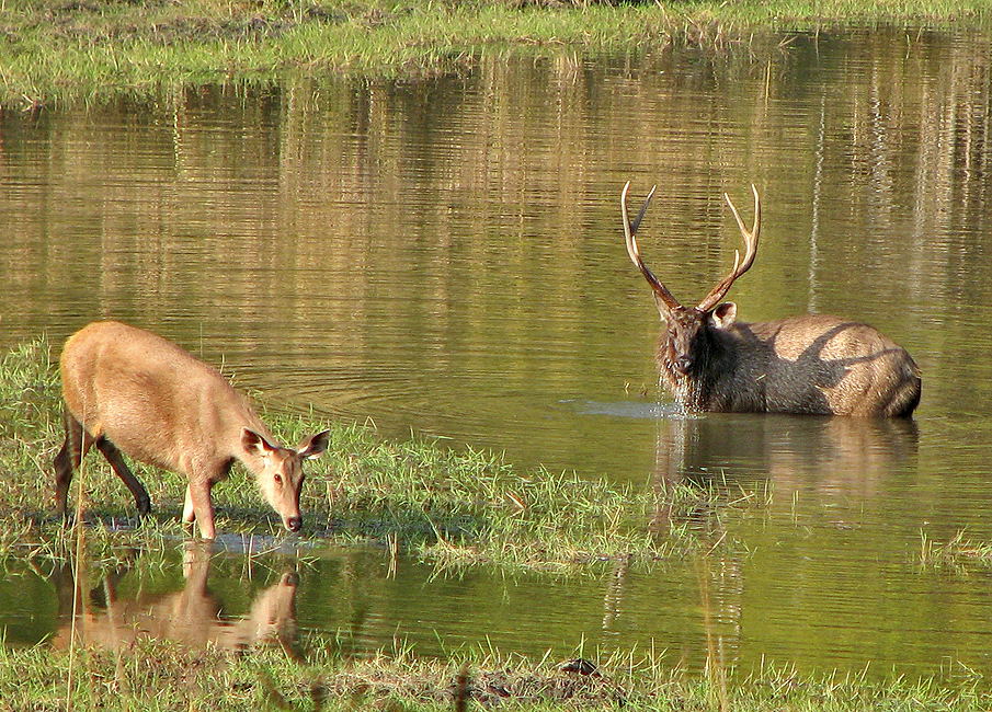 pictures of animal barasingha deers youtube