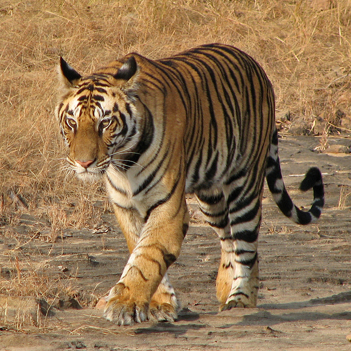 Two-year-old female tiger